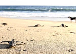 liberazione delle piccole tartarughe