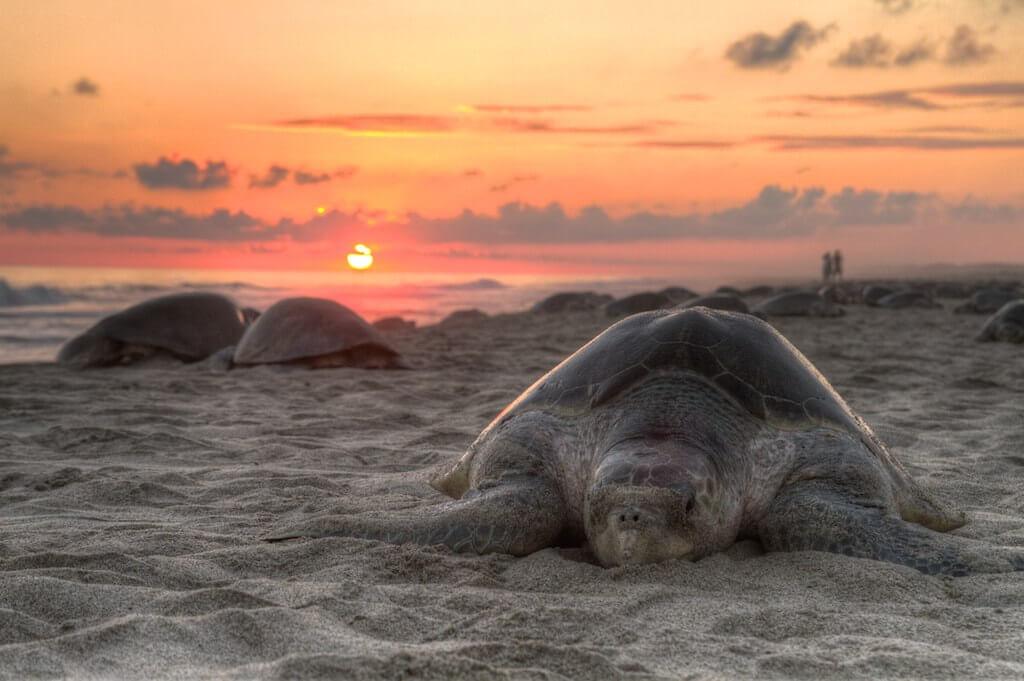 La tartaruga al tramonto durante una arribada in Messico Foto di Claudio Giovenzana
