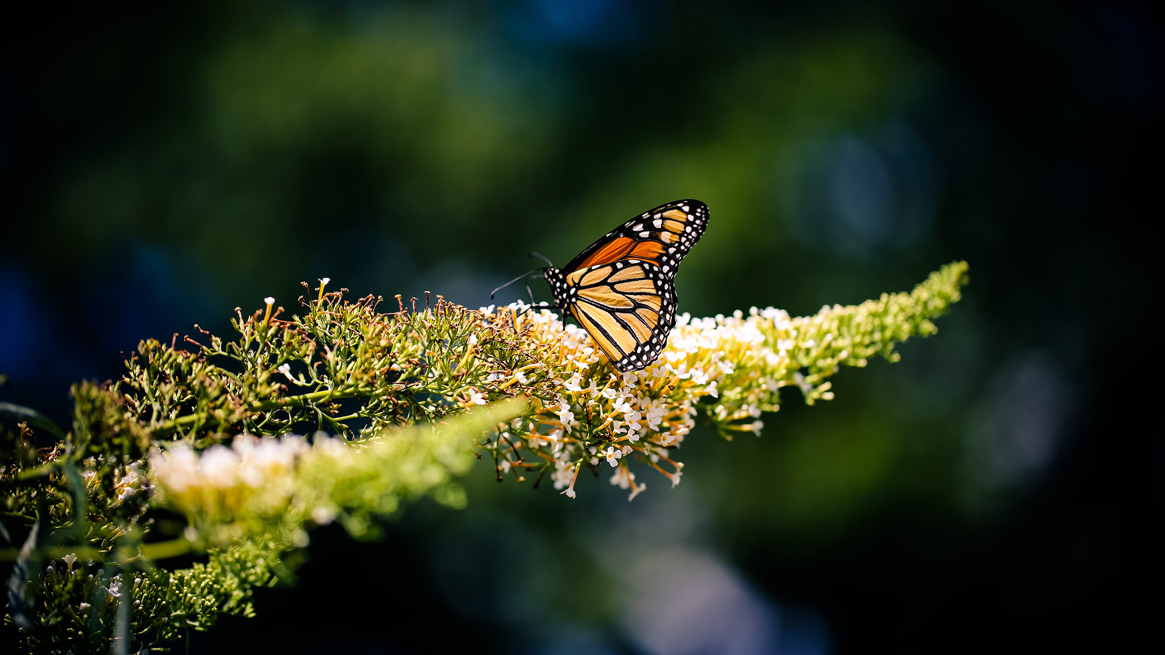 Farfalla Mariposa Monarca