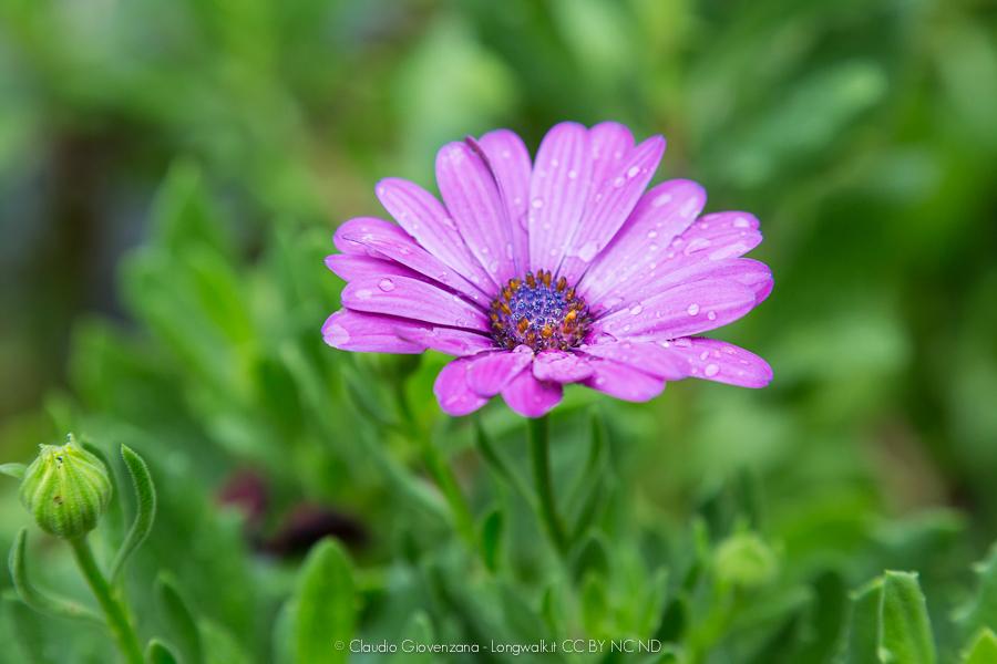 fotografia macro di un fiore viola