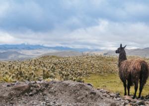 I Llama nelle ande ecuatoriane